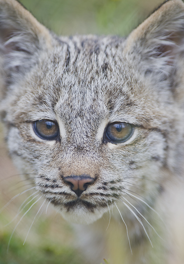 Photograph Lynx Kitten by Dan Newcomb on 500px