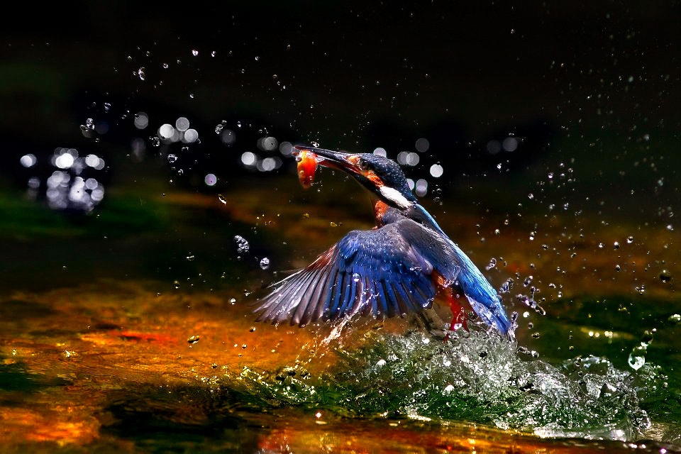 Photograph Kingfisher by Tommy Chung on 500px