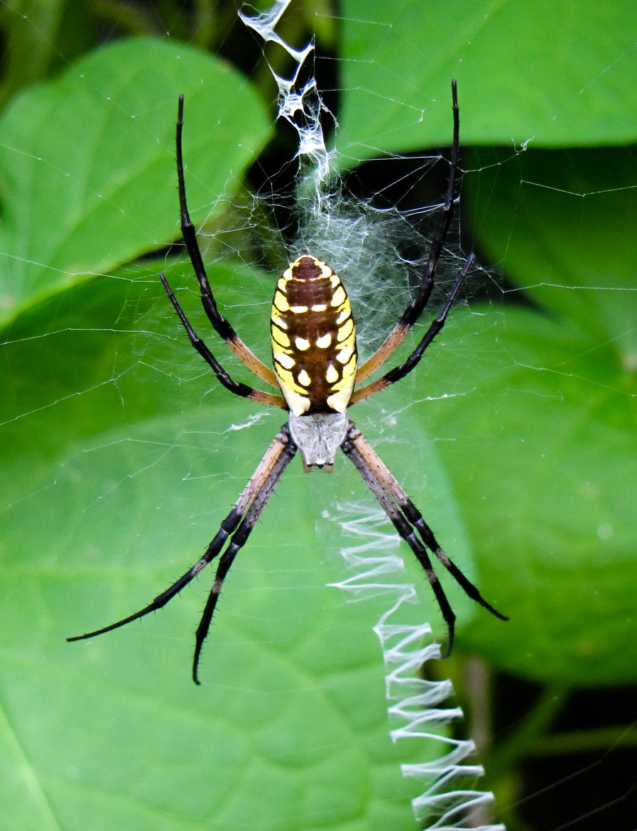 Photograph Golden Orb Weaver by Tony Grider on 500px