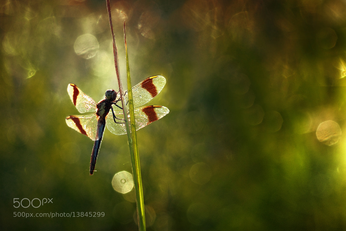 Photograph The Banded darter by Wil Mijer on 500px