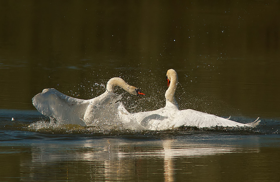 Photograph Swan fight! by Tom  Kruissink on 500px