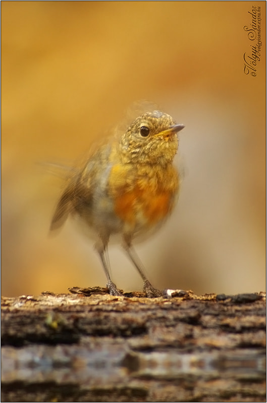 "Photograph  ""Robin's spirit"" 2 by Sándor Völgyi on 500px"