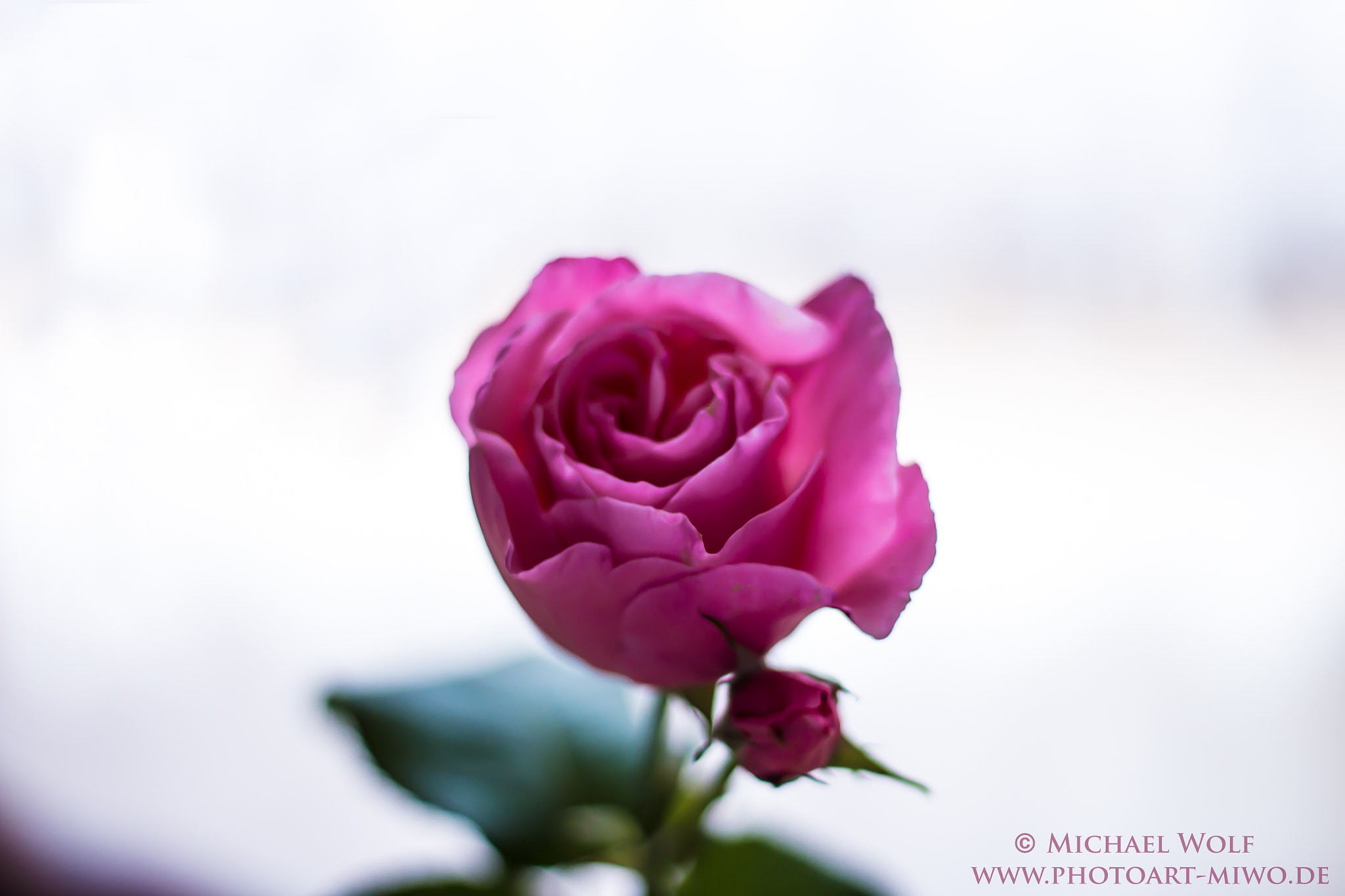 Photograph Rose by Michael Wolf on 500px