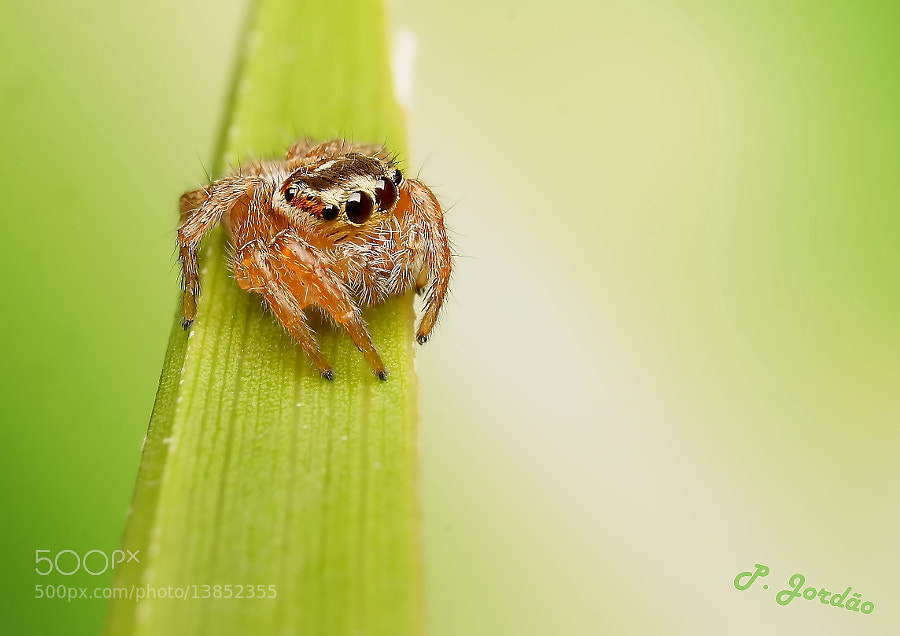 Photograph Saltidae by ©  P. Jordão on 500px