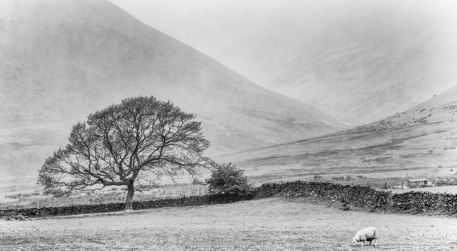 Tree in valley near Caldbeck