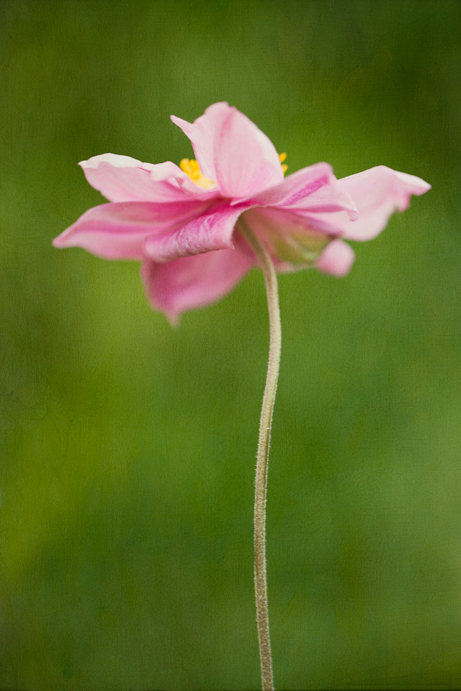 Photograph Pink anemone by Penny Myles on 500px
