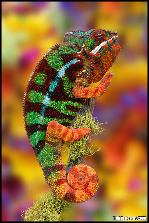 Photograph Colorful Chameleon by Paul Bratescu on 500px