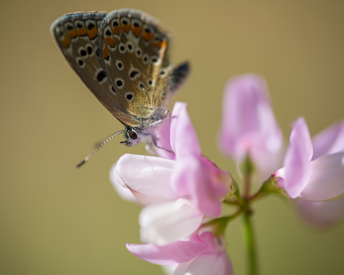 Photograph Common Blue by Carsten Saager on 500px