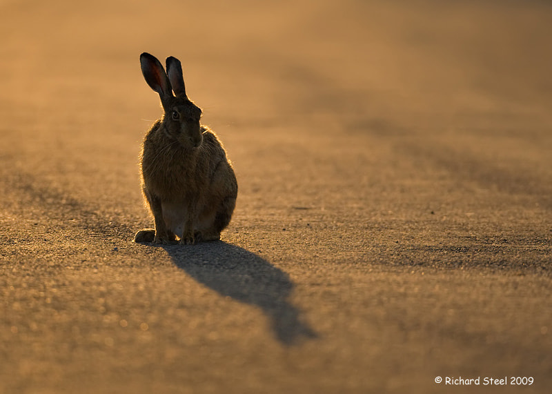 Photograph Morning Hare by Richard Steel on 500px