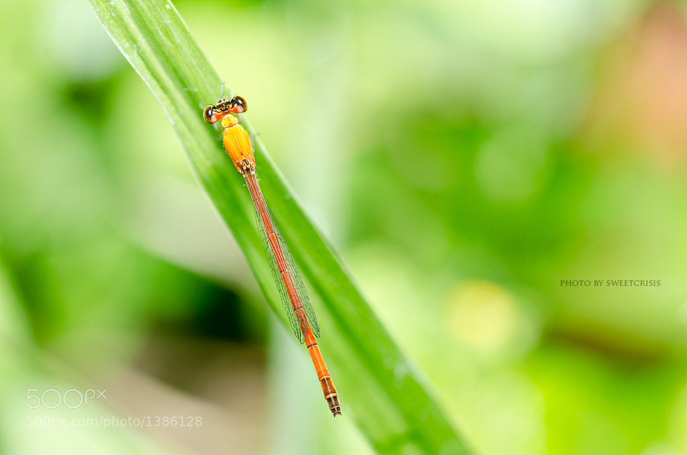 Photograph little red dragonfly in sweet nature by Peerasith Chaisanit on 500px