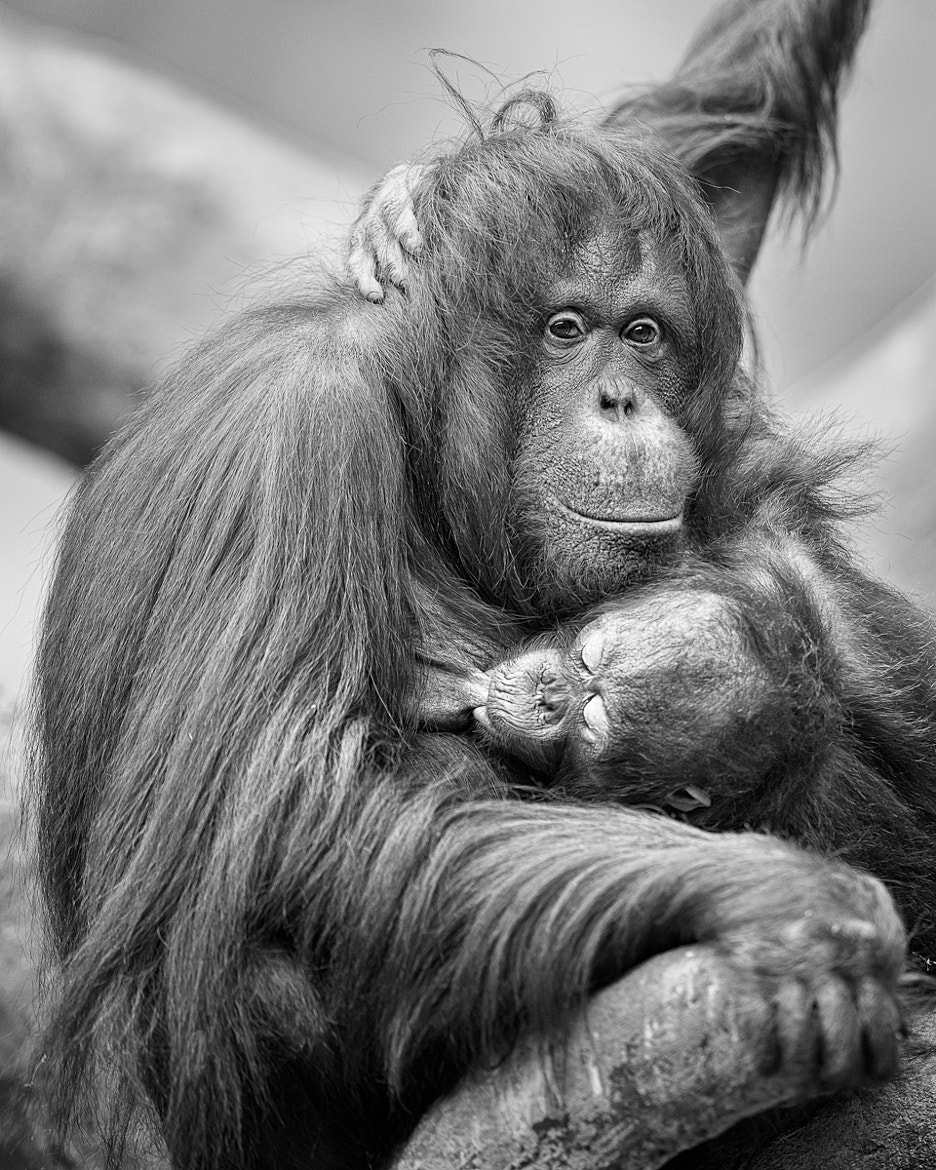 Photograph Nursing orangutan by Glenn Nagel on 500px