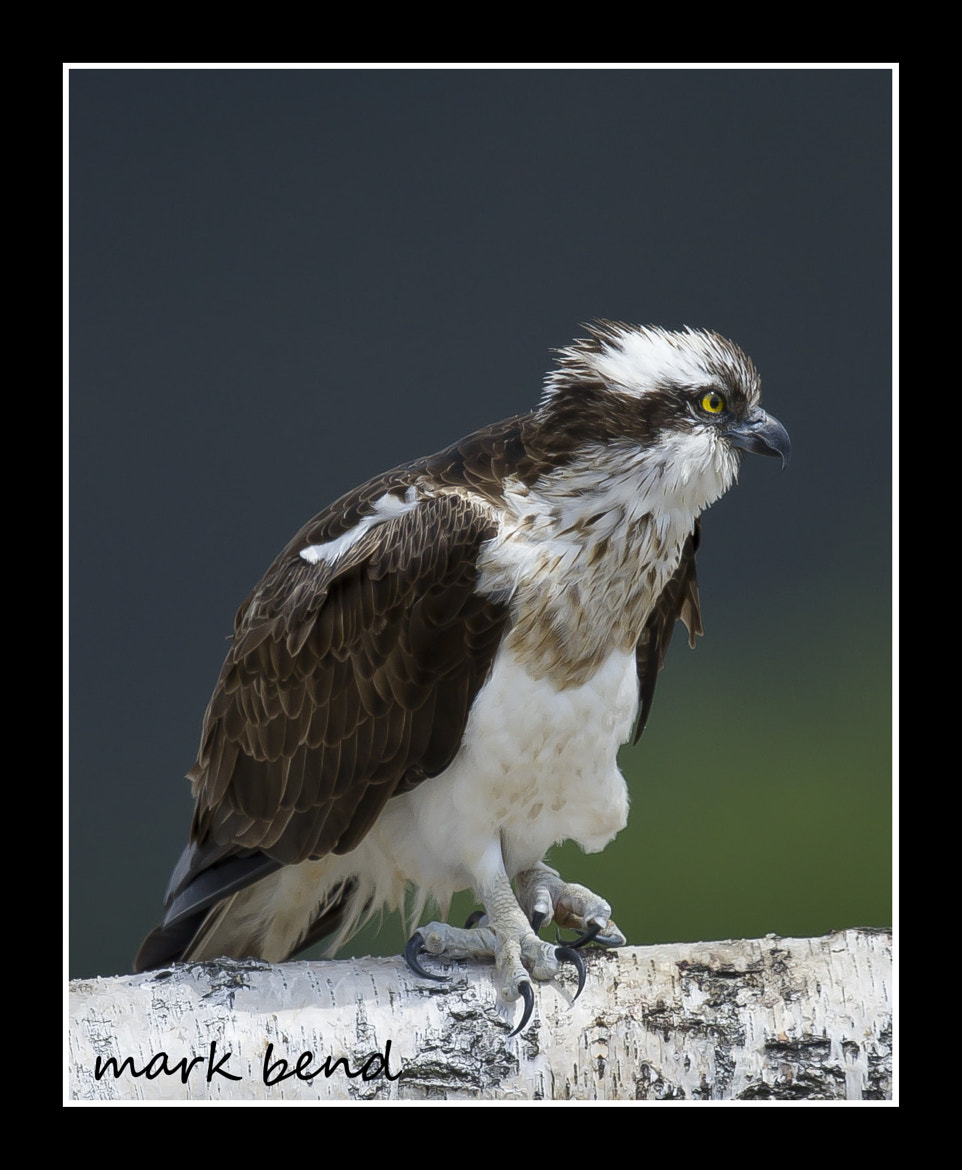 Photograph male osprey pose by Mark Bend on 500px