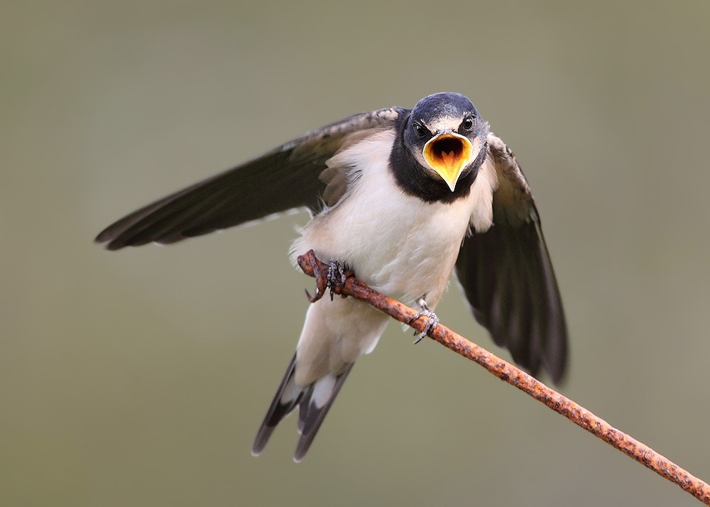 Photograph Swallow by Karen Summers on 500px