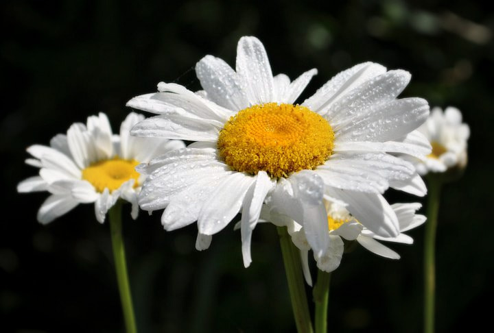 Photograph Daisy by Liv Goodwin on 500px
