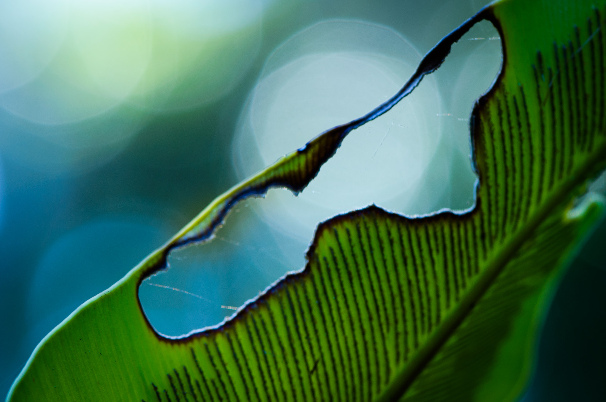 Photograph Broken Leaf by Lisa Kennedy on 500px