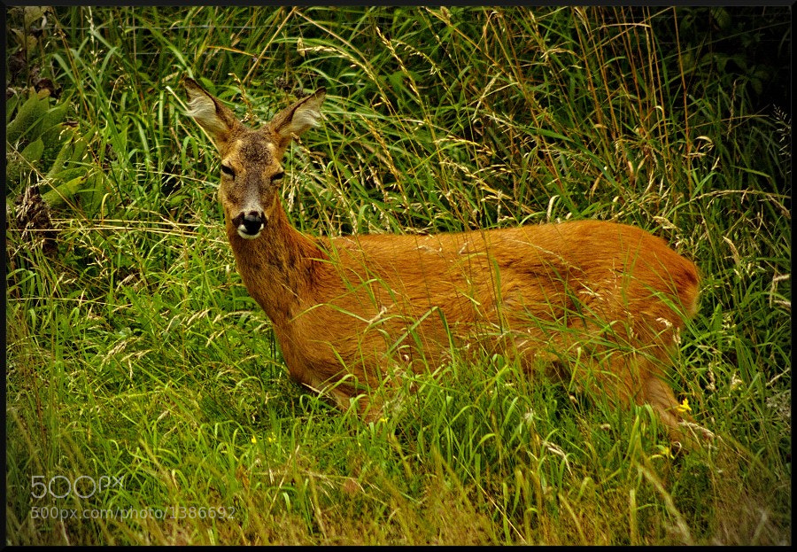 Photograph Deer by HankknaH on 500px