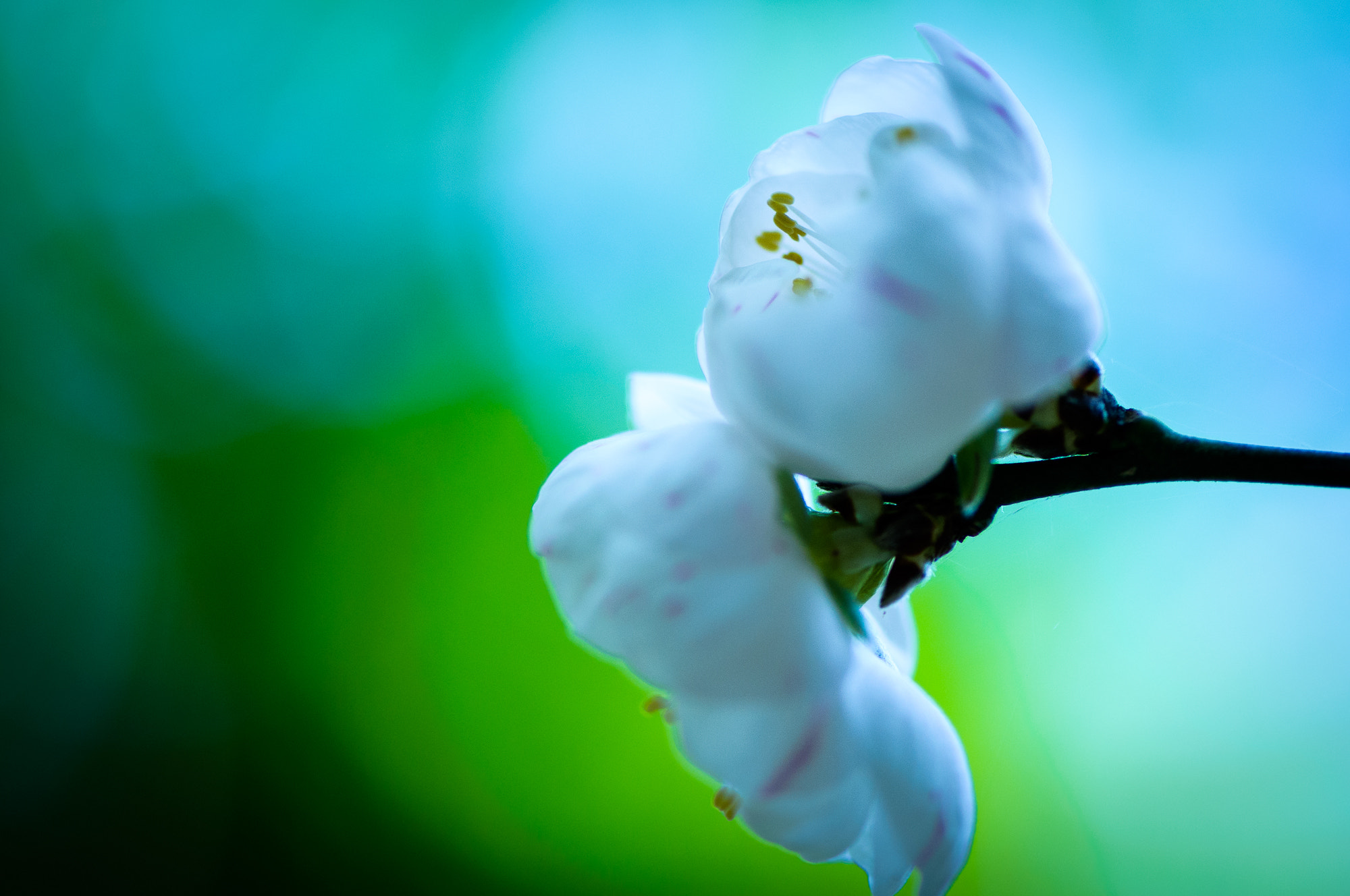 Photograph White Blossom by Lisa Kennedy on 500px