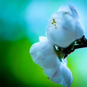 White Blossom by Lisa Kennedy (chickybabelisa)) on 500px.com