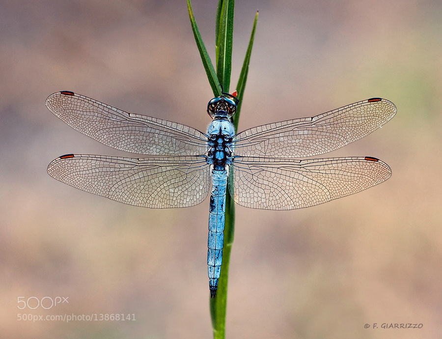Photograph Blue dragonfly by Fabio Giarrizzo on 500px