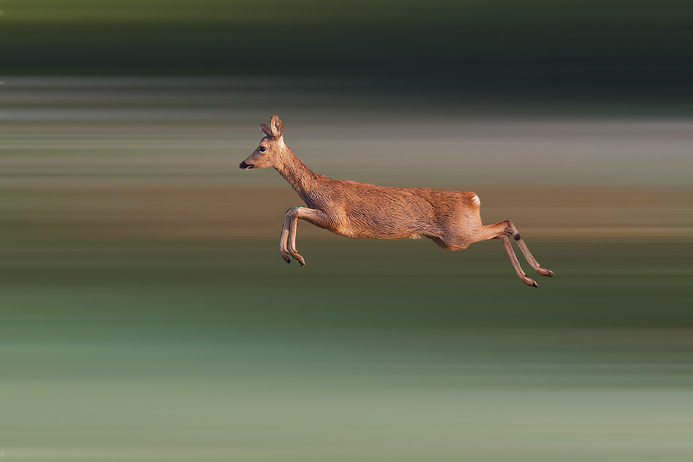 Photograph Roe Doe  by Dale Sutton on 500px