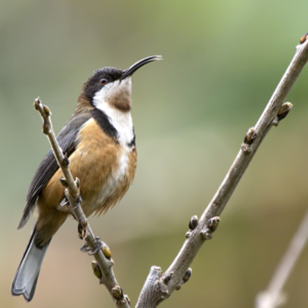 Eastern Spinebill in the Geelong Botanical Gardens
