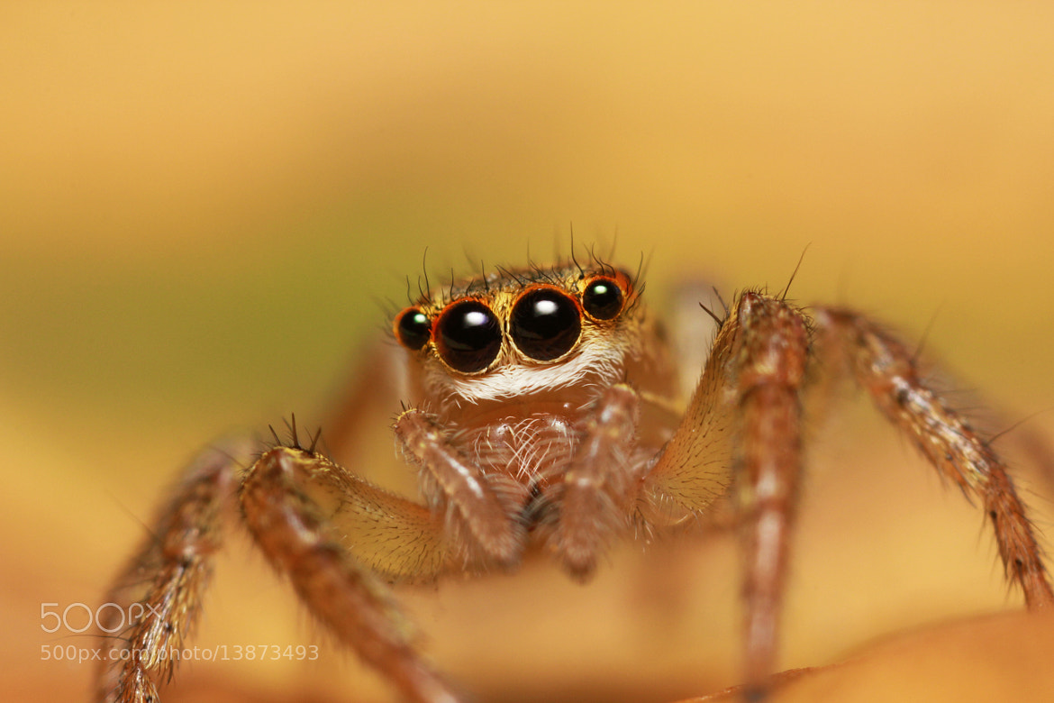 Photograph Jumping Spider by Benjamin Puppel on 500px