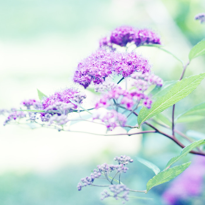 Photograph Japanese Spirea by Jamin G on 500px