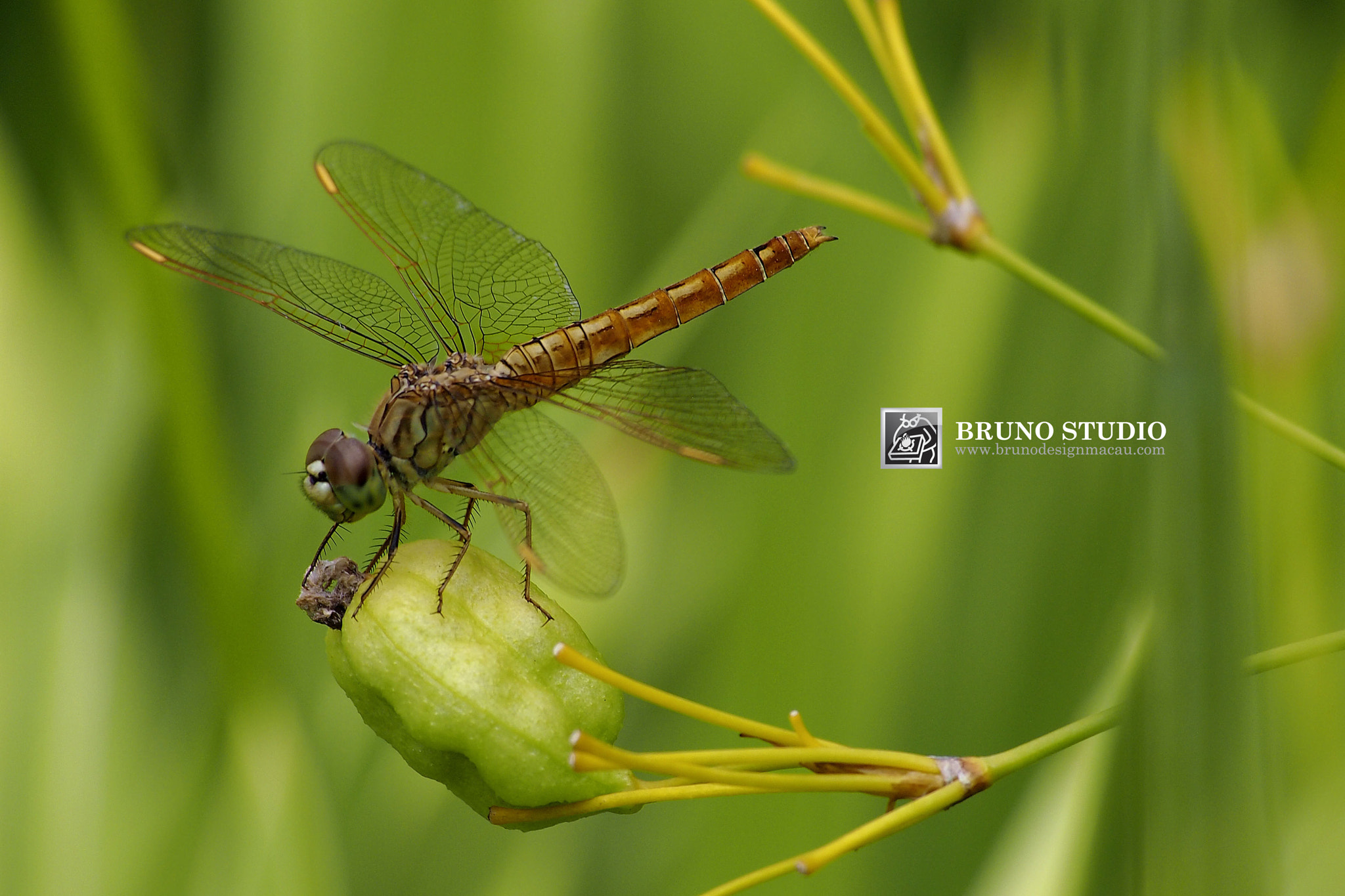 Photograph Dragonfly by Bruno Kuan on 500px
