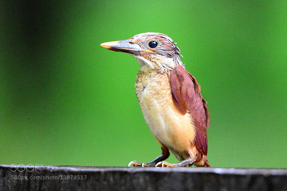 Photograph A Juvenile Ruddy Kingfisher by Young Sung Bae on 500px