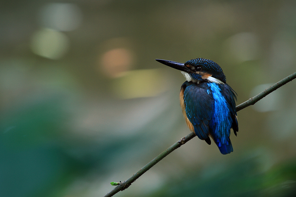 Photograph Common Kingfisher 蓝精灵 by dongfeng wu  on 500px