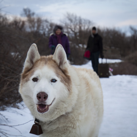 Husky, Canon EOS 500D, EF16-35mm f/4L IS USM