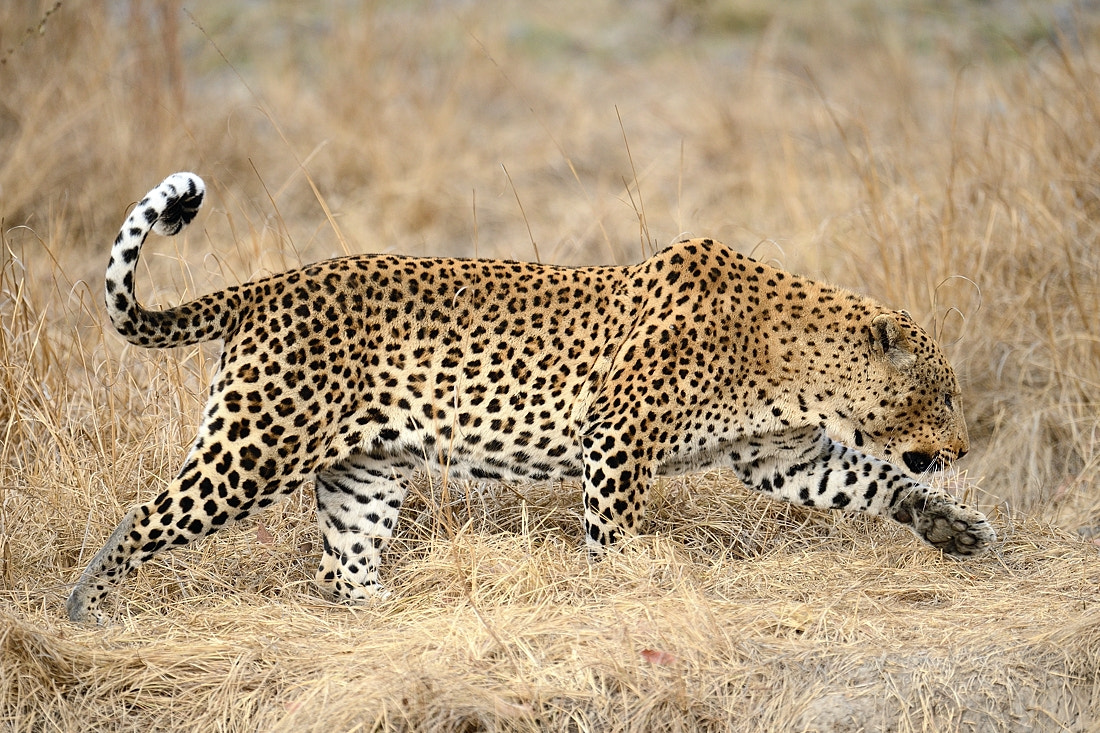 Photograph Leopard on the hunt by Bostjan P. on 500px