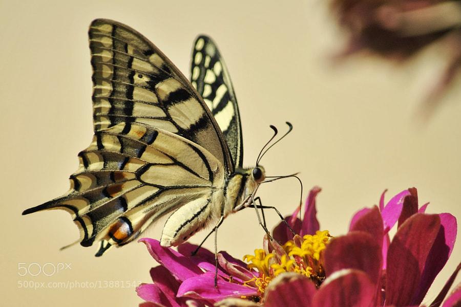 Photograph </p> <p>Beautiful Machaon  by Sébastien Delarbre  on 500px