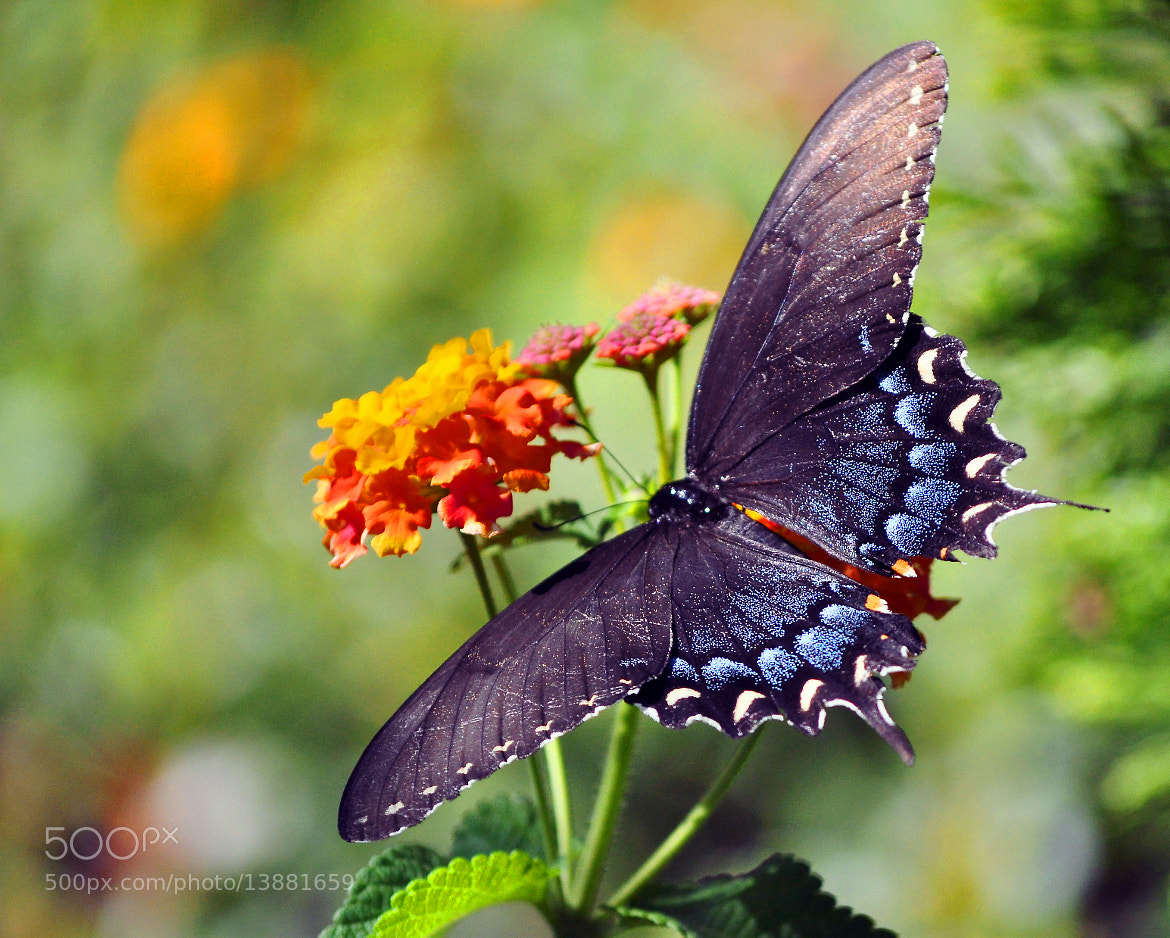 Photograph Sugarbush Swallowtail on Miss Huff Lantana by Mark Luftig on 500px