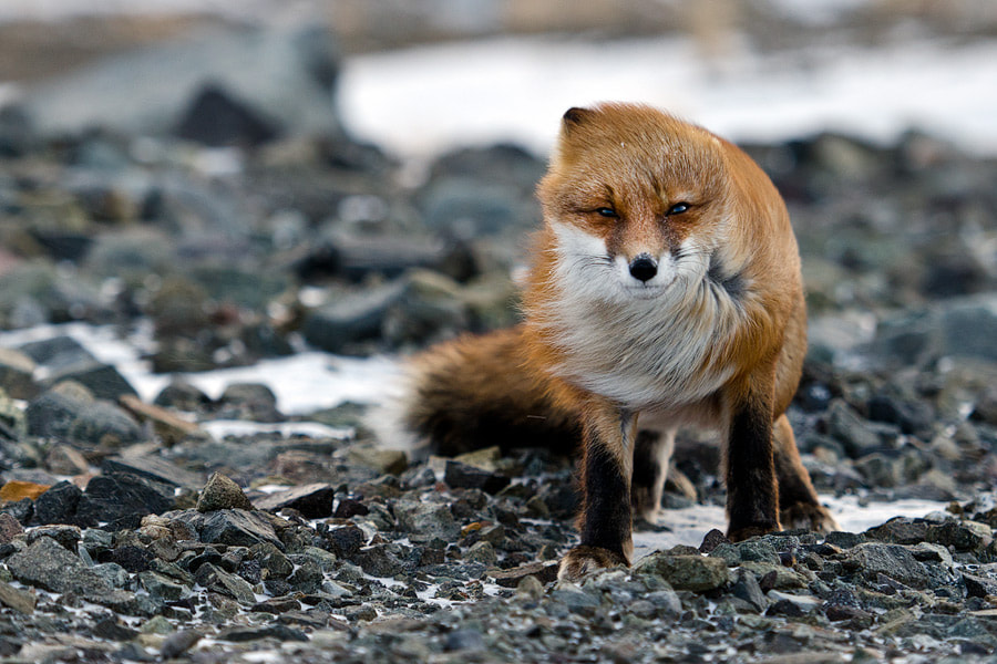 Photograph fox in the wind by Ivan Kislov on 500px