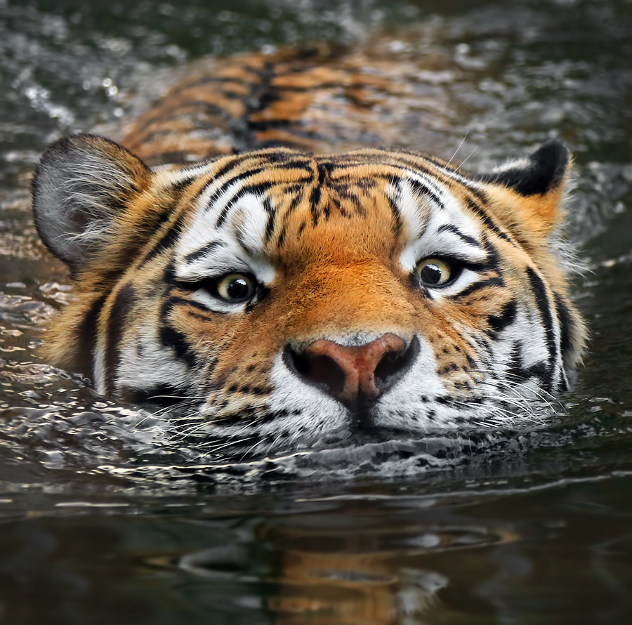 Photograph Swim for your life! by Klaus Wiese on 500px