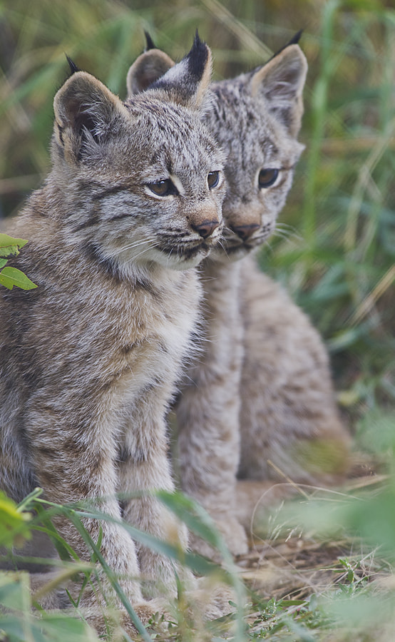 Photograph Lynx Kittens by Dan Newcomb on 500px
