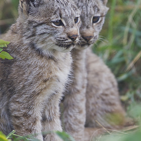 Lynx Kittens by Dan Newcomb (DanNewcomb)) on 500px.com