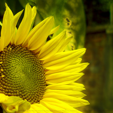 sunflower, Panasonic DMC-F5