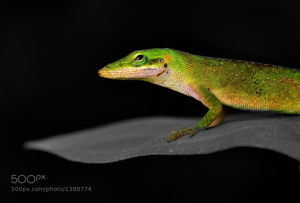 Photograph Anole Spotlight by Jeff Clow on 500px