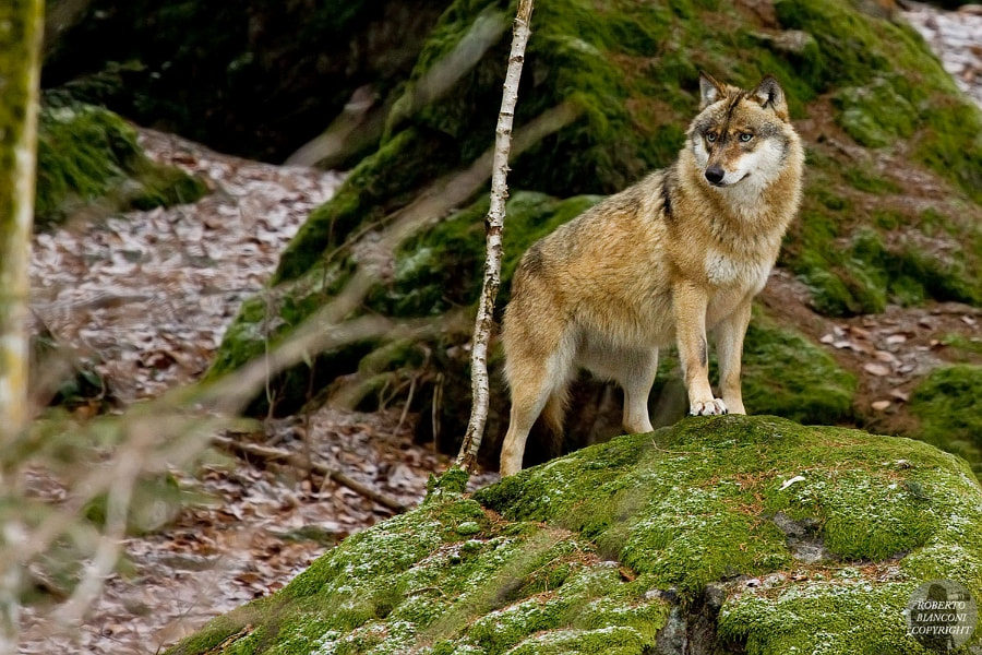 Photograph Lupo europeo (Canis lupus lupus) by Roberto Bianconi on 500px