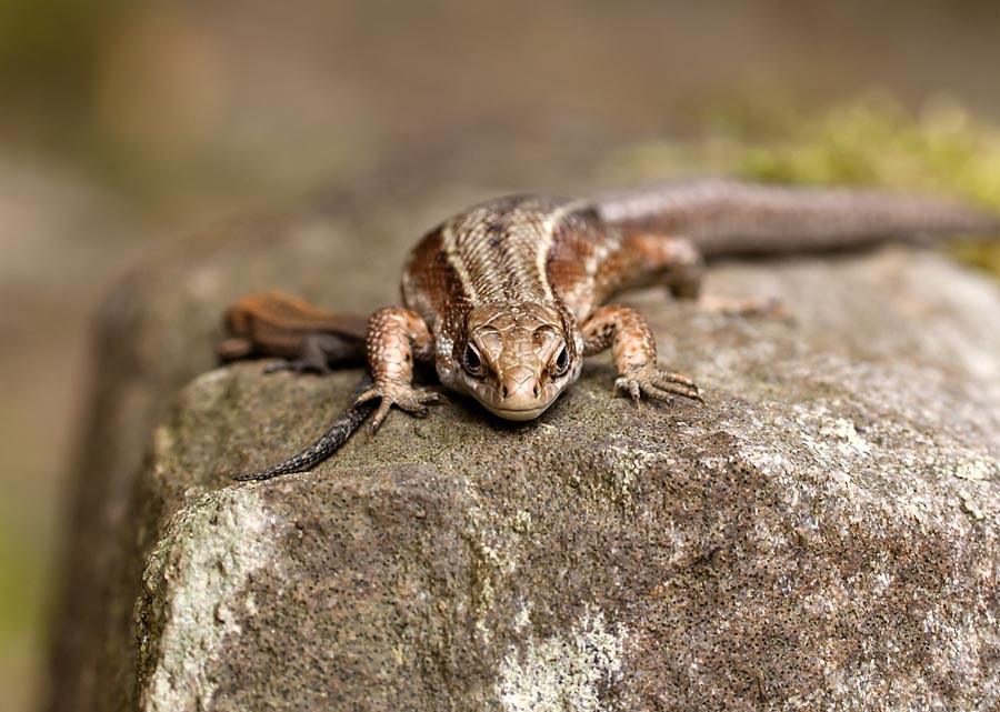 Photograph Common Lizard by David Barnes on 500px