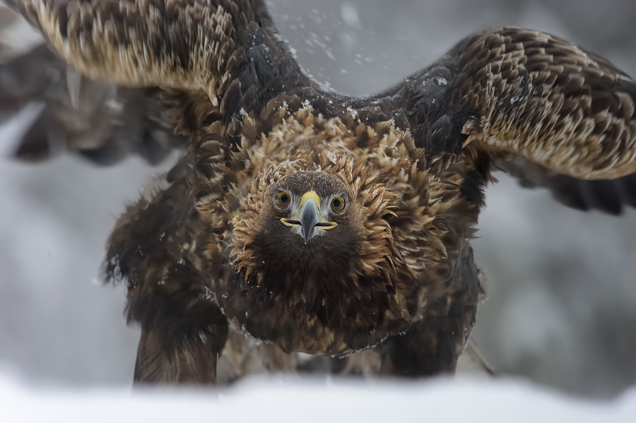 Golden eagle by Mario Vigo on 500px.com