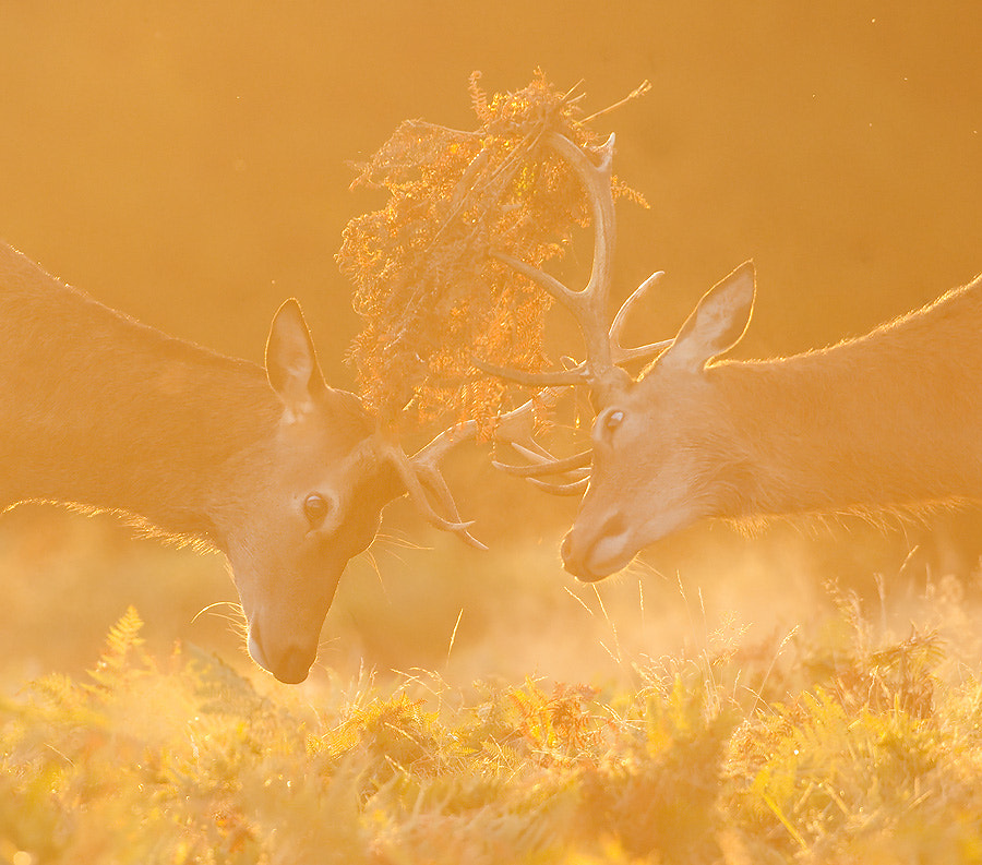 Photograph Red Deer Stags by Oscar Dewhurst on 500px