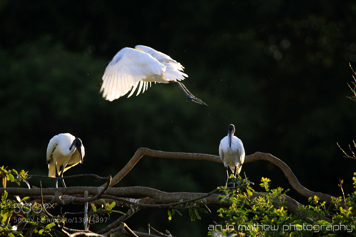 Photograph Ranganathittu Bird Sanctuary by Arun Mathew on 500px