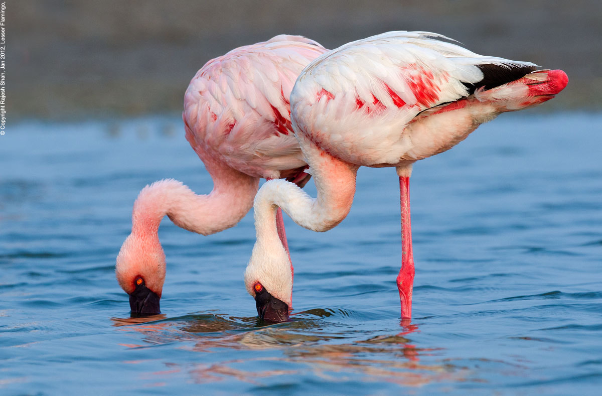Photograph Lesser Flamingo by Rajesh Shah on 500px
