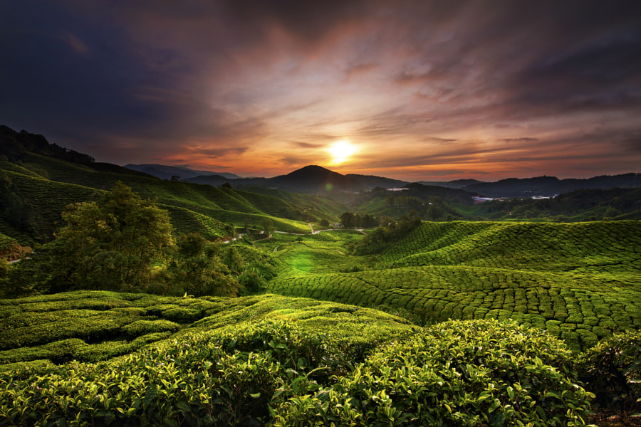 Tea Plantation Sunrise by De Man on 500px.com