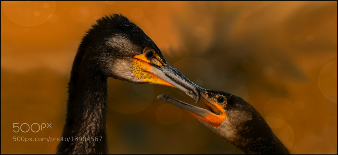 Photograph even birds can kiss by Sonja Probst on 500px