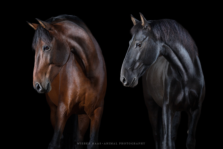 horse photography - Basilio and Ovetense by Wiebke Haas on 500px.com