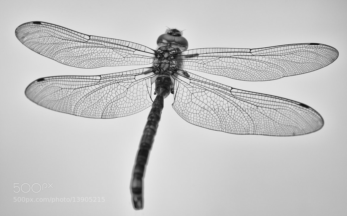 Photograph Dragonfly by Maria Inden on 500px